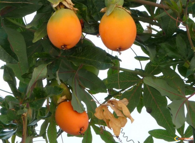Fruits de la passion - Fruit de la ronce commune ...