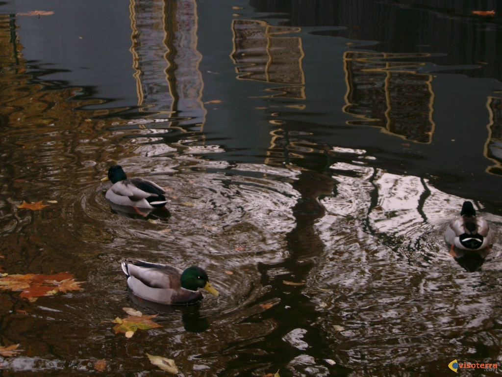 Canards à Little Venice