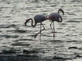 Camargue : flamants roses