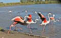 flamants roses de Camargue