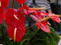 Les anthuriums de Funchal