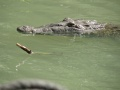 Crocodile sur la Black River