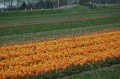 Champs tulipes