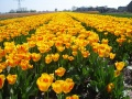 Tulipes hollandaises 1