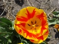 Tulipes hollandaises 2