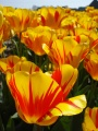 Tulipes hollandaises 3