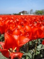 Tulipes hollandaises 4